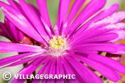Photos Provence - Fleur de provence
