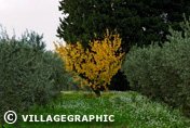 Photos Provence - Champ d'oliviers à l'automne