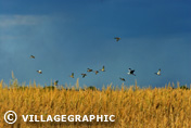 Photos Provence - Envol d'oiseau en Camargue
