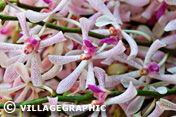 Photos Thailande - Ferme d'orchidées à Bangkok