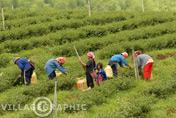 Photos Thailande - Mae Salong au coeur du Triangle d'or