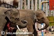 Photos Thailande - Les éléphants de Ban Tha Klang