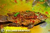 Photos Thailande - Poisson pimenté