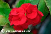 Photos Thailande - Fleur - Mukdahan