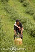 Photos Thailande - Ramasseuse de thé