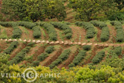 Photos Thailande - Plantation de thé